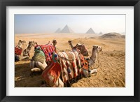 Framed Egypt, Cairo, Camels, desert sands of Giza Pyramids