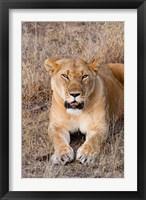 Framed Female lion, Maasai Mara National Reserve, Kenya