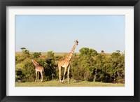 Framed Giraffe, Giraffa camelopardalis, Maasai Mara, Kenya.