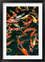 Framed China, Hong Kong, Kowloon, Koi carp in Nan Lian Garden