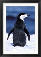 Framed Chinstrap Penguin, Weddell Sea, Antarctic Peninsula, Antarctica