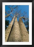 Framed Baobab Trees, Ampijoroa-Ankarafantsika NP, MADAGASCAR
