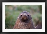Framed Antarctic Fur Seal, Cooper Baby, South Georgia, Antarctica