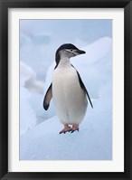 Framed Chinstrap Penguins on ice, South Orkney Islands, Antarctica