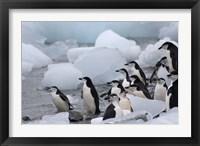 Framed Chinstrap Penguins, South Orkney Islands, Antarctica