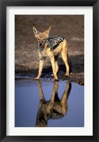 Framed Botswana, Chobe NP, Black Backed Jackal wildlife