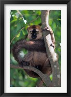 Framed Brown Red-fronted Lemur, Primate, Madagascar