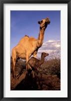 Framed Dromedary Camel, Mother and Baby, Nanyuki, Kenya