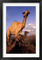 Framed Dromedary Camel, Mother and Baby, Nanyuki, Kenya