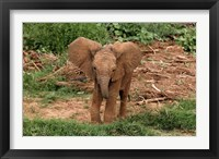 Framed Baby Africa elephant, Samburu National Reserve, Kenya