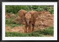 Framed Baby Africa elephant, Samburu National Reserve, Kenya