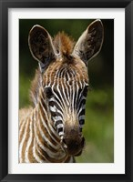 Framed Baby Burchell's Zebra, Lake Nakuru National Park, Kenya