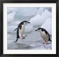 Framed Chinstrap Penguins on ice, Antarctica