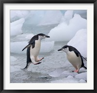 Framed Chinstrap Penguins on ice, Antarctica