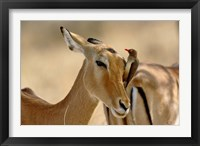 Framed Female Impala with Red-billed Oxpecker, Samburu Game Reserve, Kenya