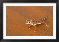 Framed Desert Gecko, Namib Desert, Namibia
