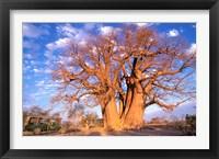 Framed Baobab, Okavango Delta, Botswana