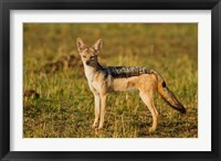 Framed Black-backed Jackal, Maasai Mara Wildlife Reserve, Kenya