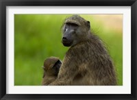 Framed Chacma baboon, Papio ursinus, and baby, Kruger NP, South Africa
