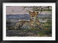 Framed Cheetah,Acinonyx jubatus, Nxai Pan NP, Botswana, Africa