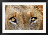 Framed Close-up of Male Lion, Kruger National Park, South Africa.