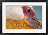 Framed Great White Pelican, Walvis Bay, Namibia