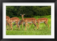 Framed Herd of Impala, by Chobe River, Chobe NP, Kasane, Botswana, Africa