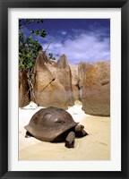 Framed Aldabran Giant Tortoise, Curieuse Island, Seychelles, Africa