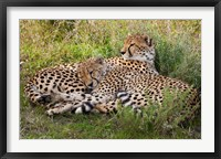 Framed Cheetahs, Serengeti National Park, Tanzania
