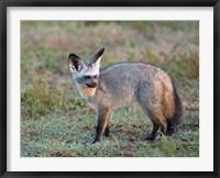 Framed Bat-eared Fox, Serengeti, Tanzania