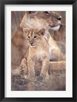 Framed African Lion, Masai Mara, Kenya