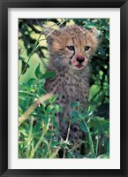 Framed Cheetah Cub, Masai Mara Game Reserve, Kenya