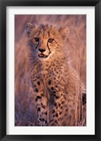 Framed Cheetah, Phinda Reserve, South Africa
