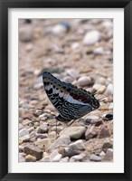 Framed Zebra Butterfly, Gombe National Park, Tanzania