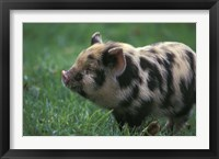 Framed Domestic Farmyard Piglet, South Africa