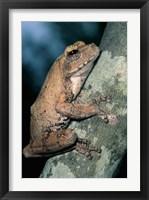 Framed Grey Frog, Kruger NP, South Africa
