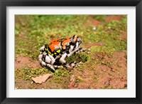 Framed Africa, Madagascar, Isalo. Terrible frog