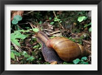 Framed Giant African Land Snail, Gombe National Park, Tanzania
