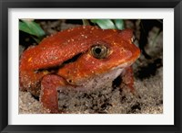 Framed Africa, Madagascar. Tomato frog (Dyscophus antongili)