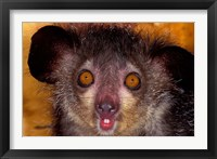 Framed Aye-Aye, Madagascar