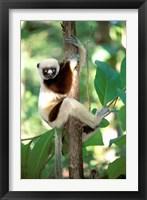 Framed Coquerel's Sifaka, Western Dry Forest, Madagascar