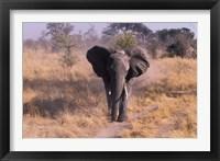 Framed Elephant, Okavango Delta, Botswana