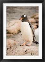 Framed Antarctica. Adult Gentoo penguins on rocky shoreline.