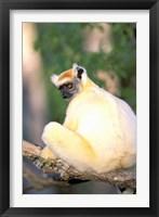 Framed Africa, Madagascar, Daraina. Golden-crowned Sifaka