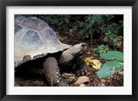 Framed Closeup of Giant Tortoise, Seychelles