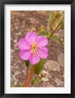 Framed Africa; Malawi; Mt Mulanje; Pink flower on Mt. Mulanje