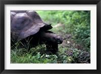 Framed Giant Tortoise, Seychelles