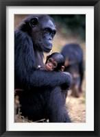 Framed Female Chimpanzee Cradles Newborn Chimp, Gombe National Park, Tanzania