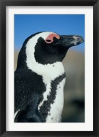 Framed Close up of an African Penguin, Cape Peninsula, South Africa