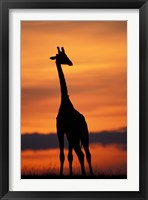 Framed Giraffe Silhouetted, Masai Mara Game Reserve, Kenya